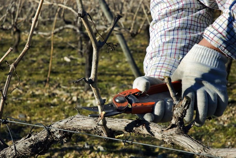 Quand et comment tailler une vigne?