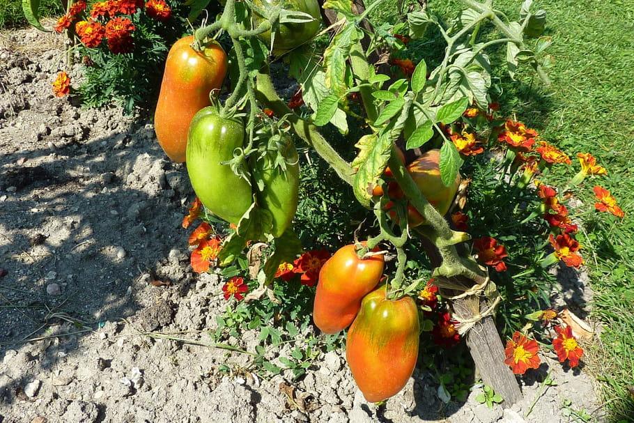 7variétés de tomates à la loupe
