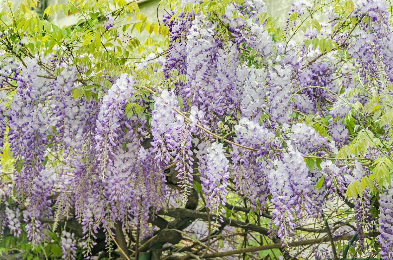 Une Glycine En Pot glycine : planter, entretenir, tailler et multiplier