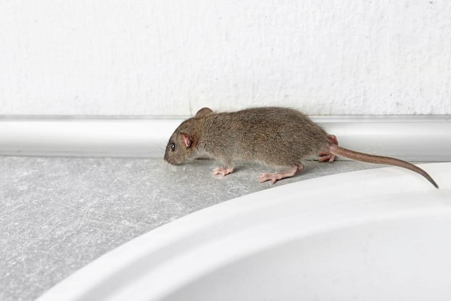 Un virus transmis par des rats inquiète à Hong Kong