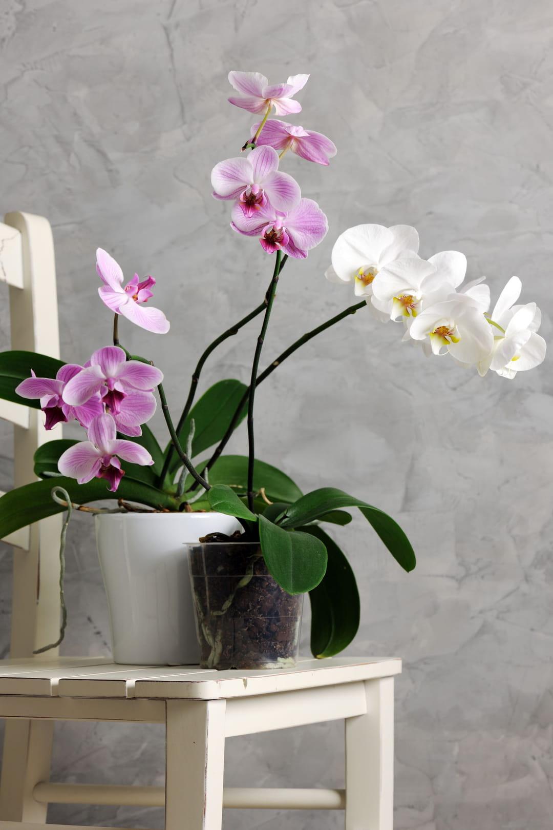 phalaenopsis-orchidee-papillon