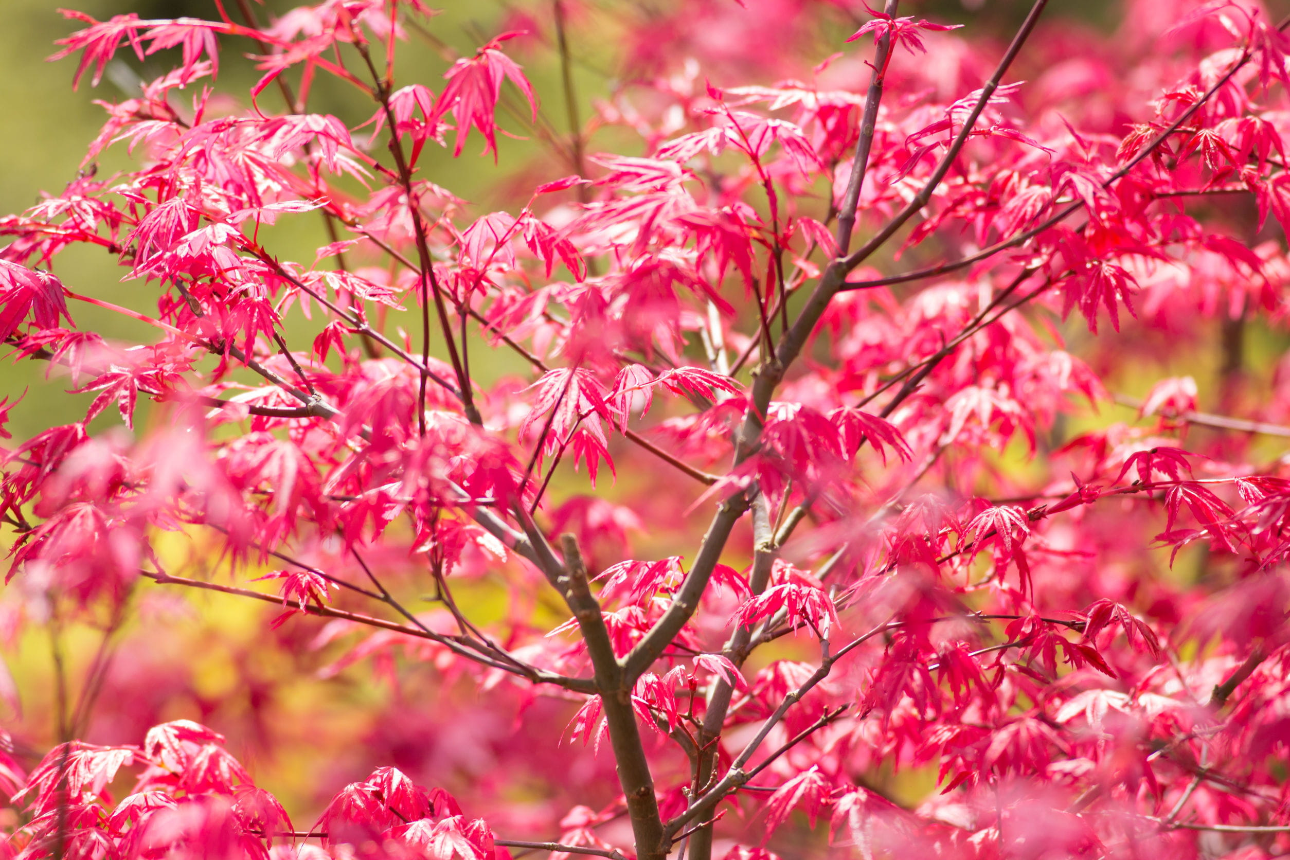 Erable Du Japon Petit 10 arbres rustiques à planter