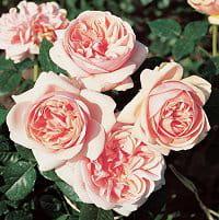 rose laurette fugain