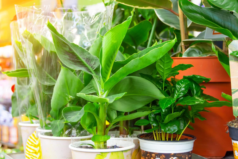 Bananier en pot: où le placer, comment s'en occuper?