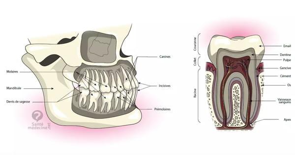 schema-dent-dentition