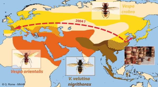 Distribution des 3 espèces de frelons présentes en Europe.