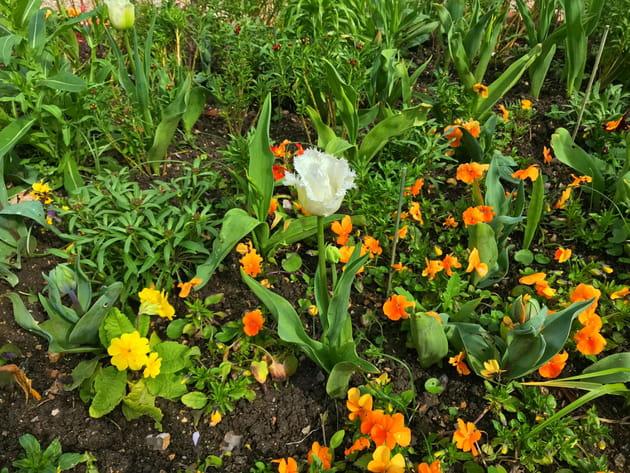 Tulipe dentelée Daytona et primevères