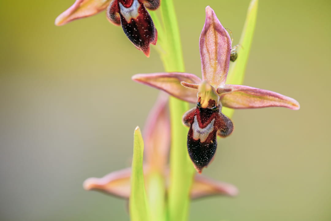 ophrys-mouche-ophrys-araignee