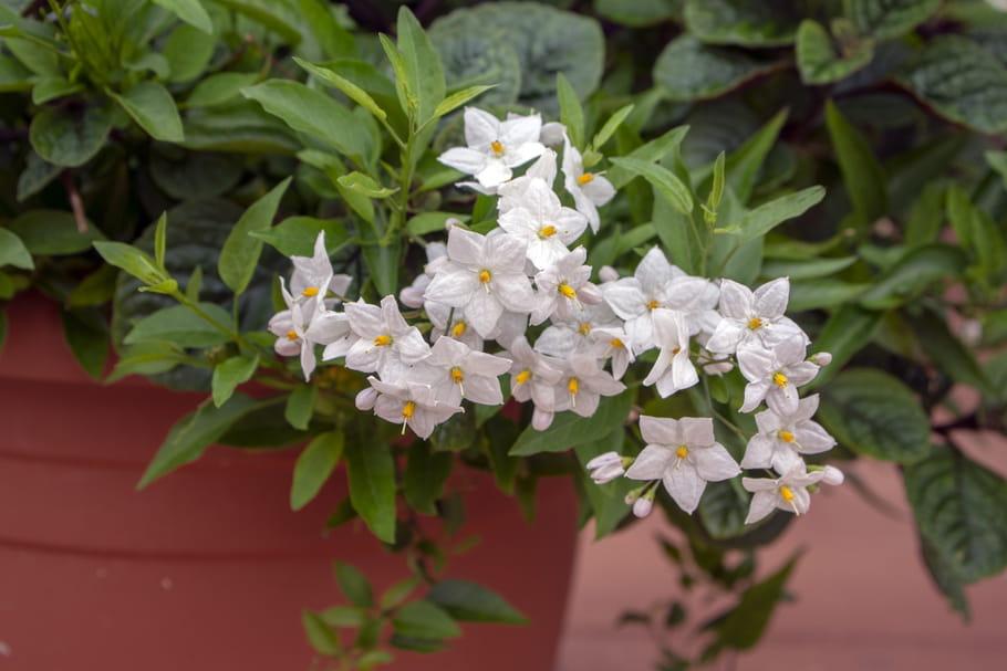 Solanum jasminoïdes (Morelle faux jasmin)
