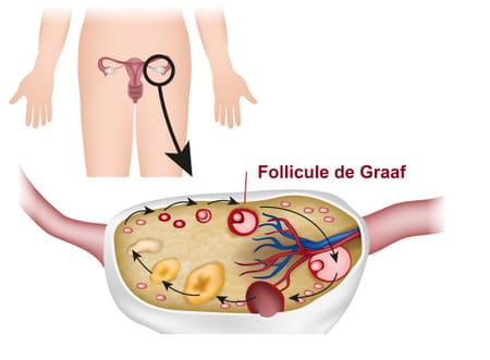 Follicule de Graaf schéma anatomie