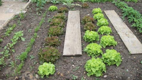 Quand planter les salades journal des femmes - Quand repiquer les salades ...