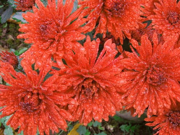De jolis chrysanthèmes orangés