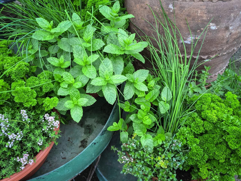 Plantes aromatiques: liste et fiches pour cultiver les herbes aromatiques