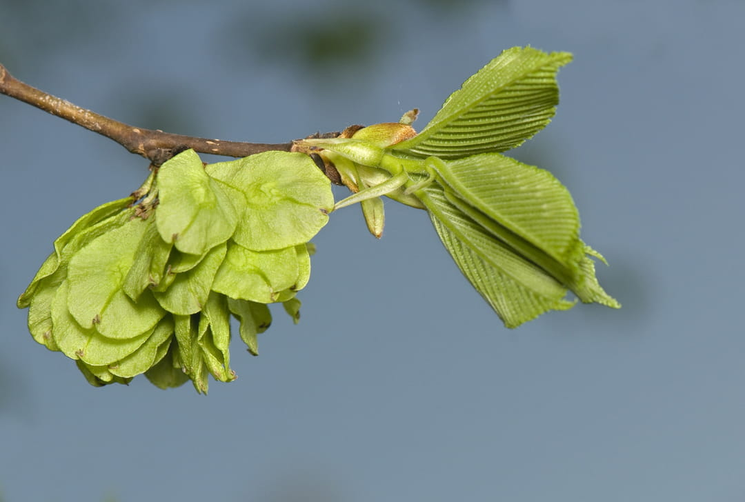 fleur-orme