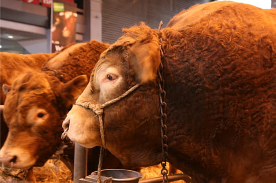 La rolls des bovines