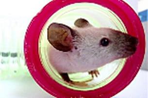 franklin, l'adorable souris siamoise.