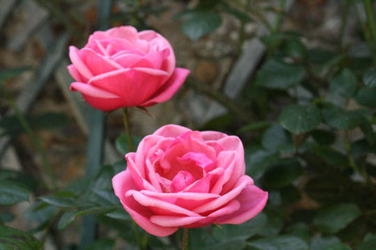 Le rose domine