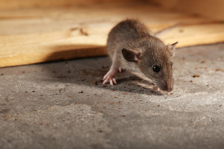 Fabriquer un piège à rat efficace