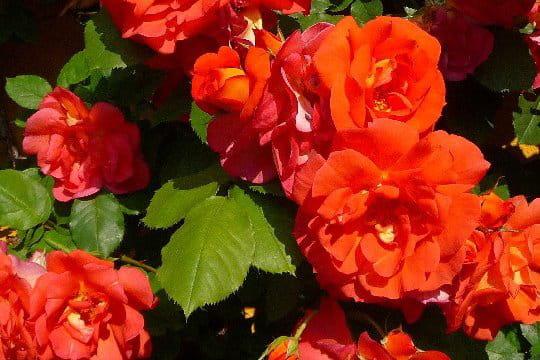 Magnifique floraison pour le rosier Arielle Dombasle ® Meihourag