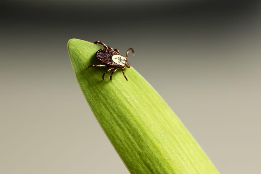 Un plan d'action de l'État contre la borréliose de Lyme