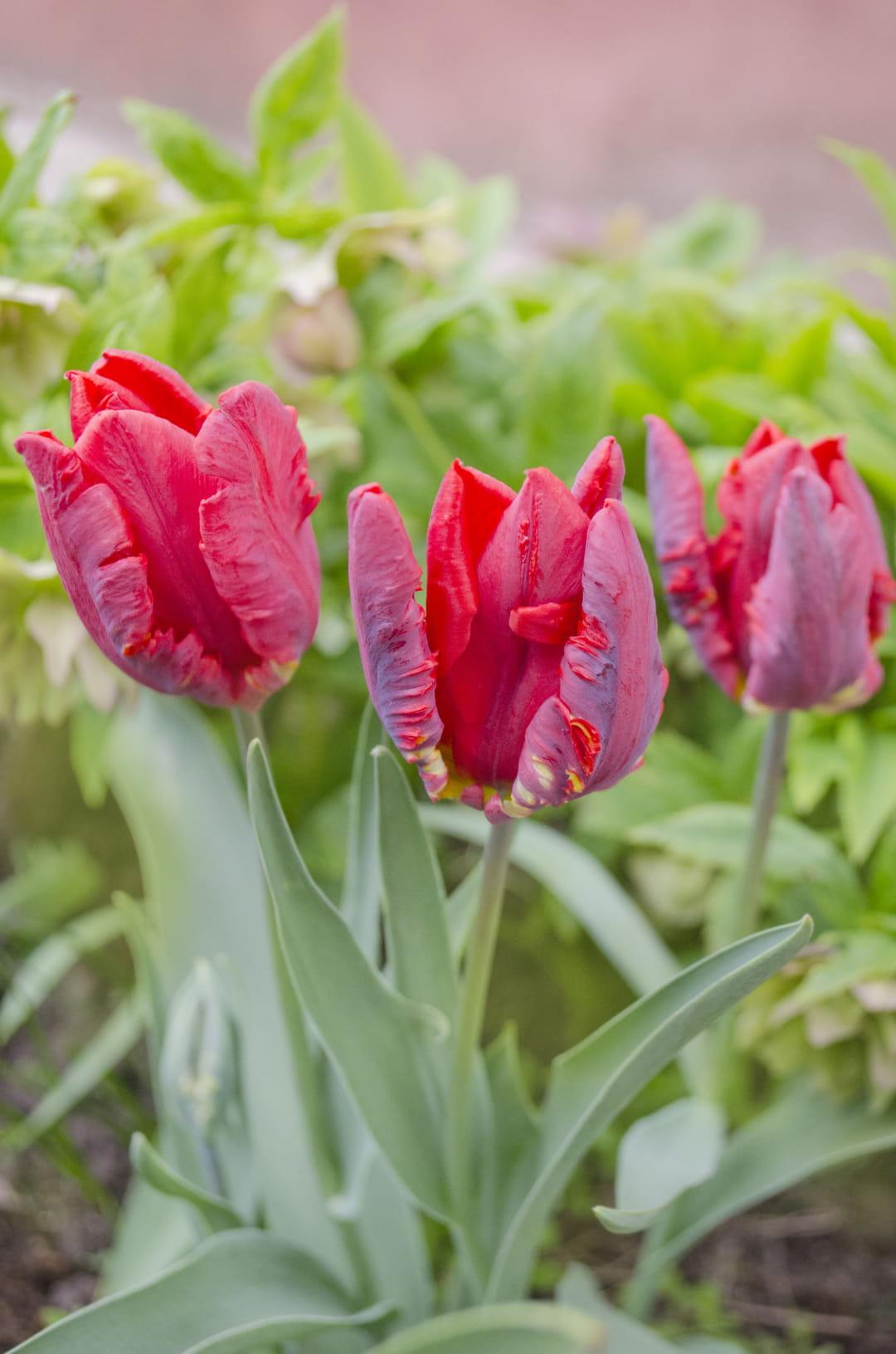 tulipe-perroquet