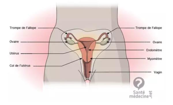 schéma ovaire