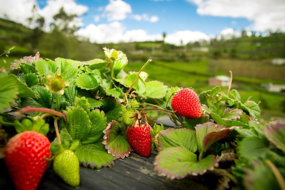 Planter des fraisiers: culture, entretien et cueillette des fraises en terre ou en pot