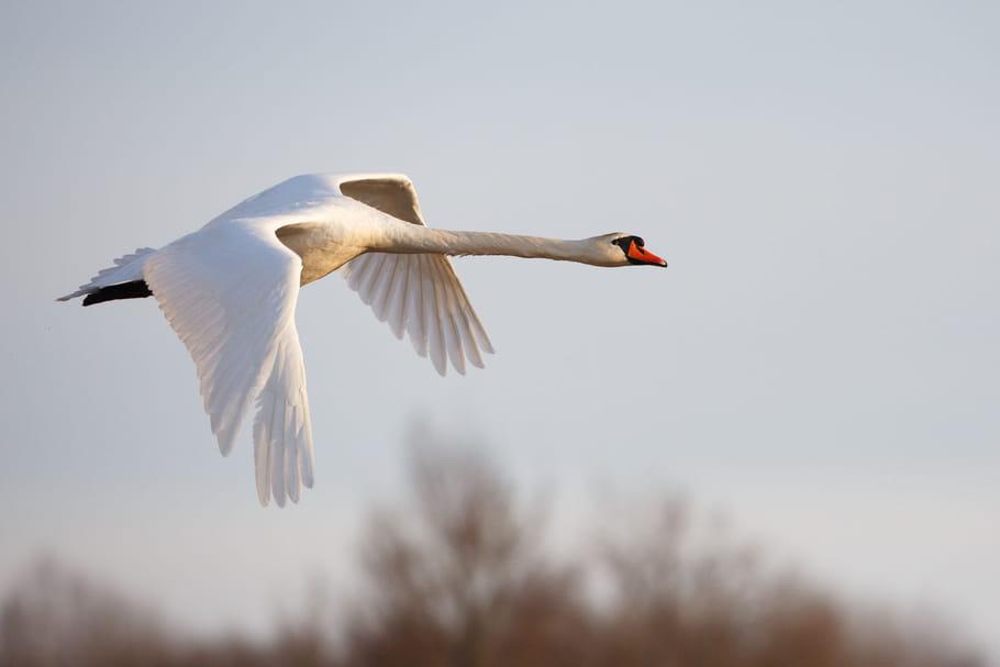 """Grippe aviaire: la France en alerte """"élevée"""", carte, quels risques?"""