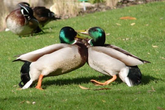 Combat de canards