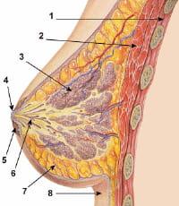 1 cage thoracique - 2 muscles pectoraux - 3 lobules - 4 surface du mamelon - 5
