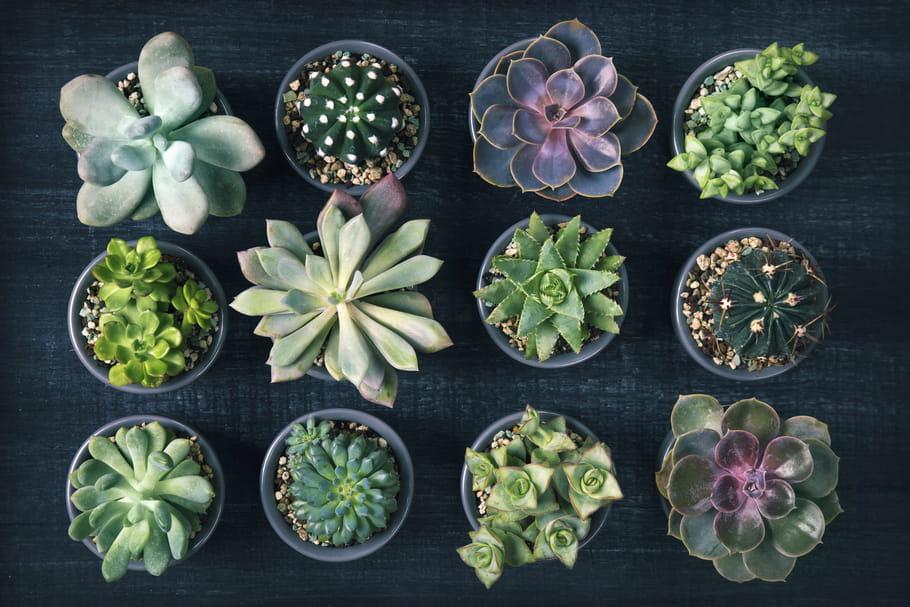 Plantes grasses et succulentes: guide pour les entretenir