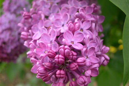 La valse des lilas