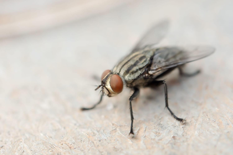 Se débarrasser des mouches dans la maison