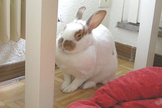 Un lapin-poule