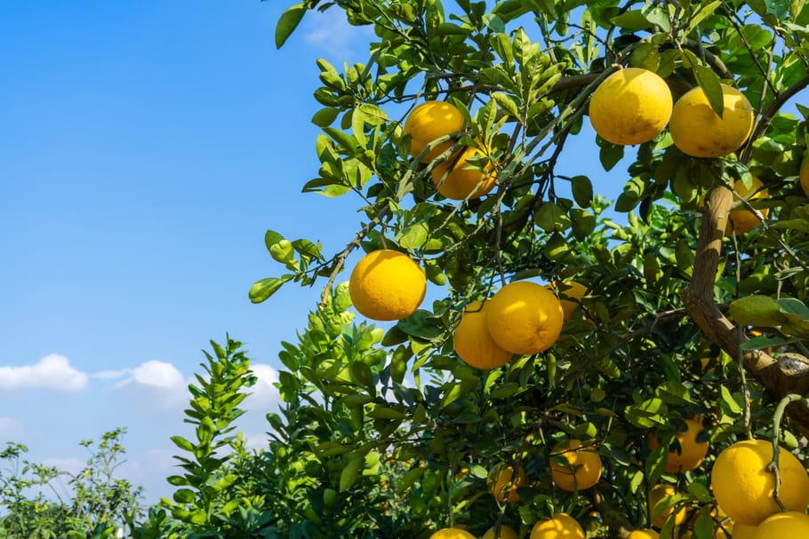Pomelo (Citrus x paradisi)