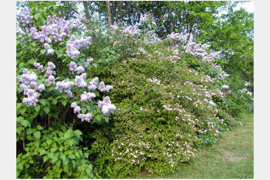 Haie de lilas for Haie jardin anglais