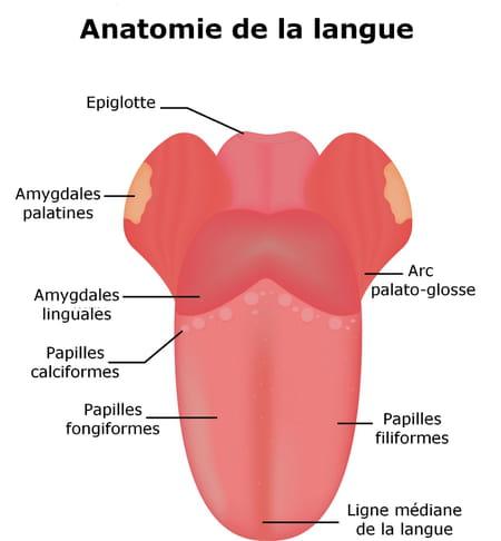 anatomie de la langue et des papilles