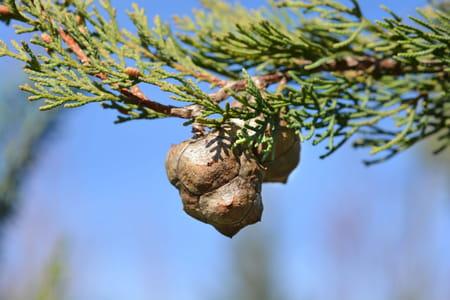 Cupressus sempervirens cyprès