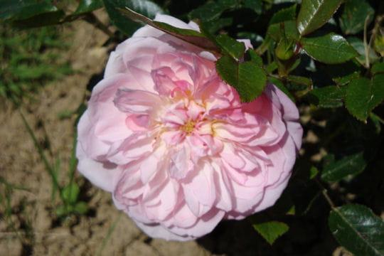 Dans le style rosace