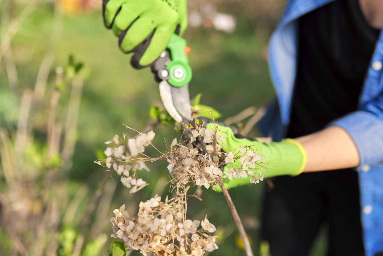 Tailler un hortensia: les règles d'or à connaître