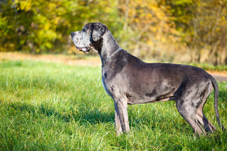 Danois Dogue Allemand Caractere Origine Sante Et Alimentation De Ce Chien