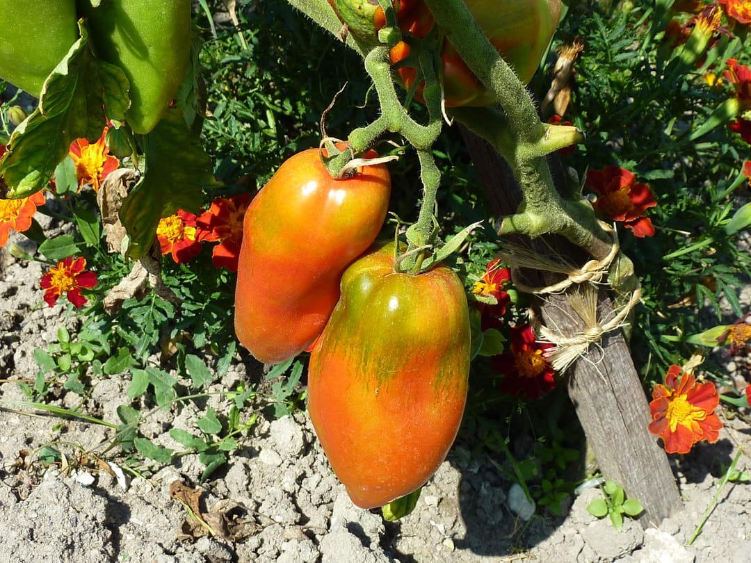 tomate-opalka