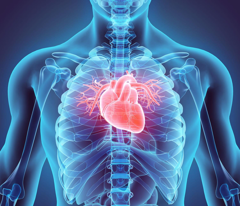 Artère coronaire: définition, schéma, rôle, combien en a-t-on?