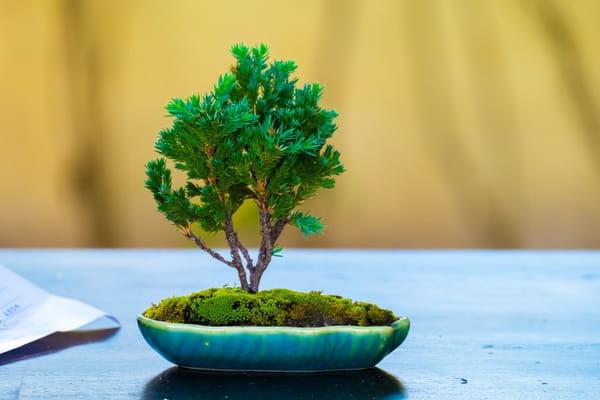 semer-un-bonsai