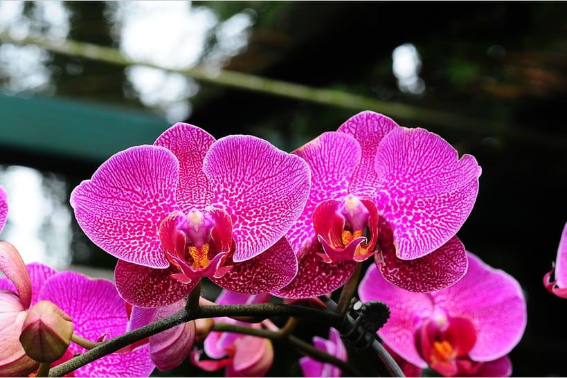 Entretenir une orchidée papillon ou Phalaenopsis