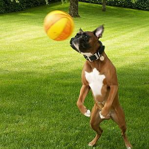 sportif et intelligent , le boxer joue avec tout.