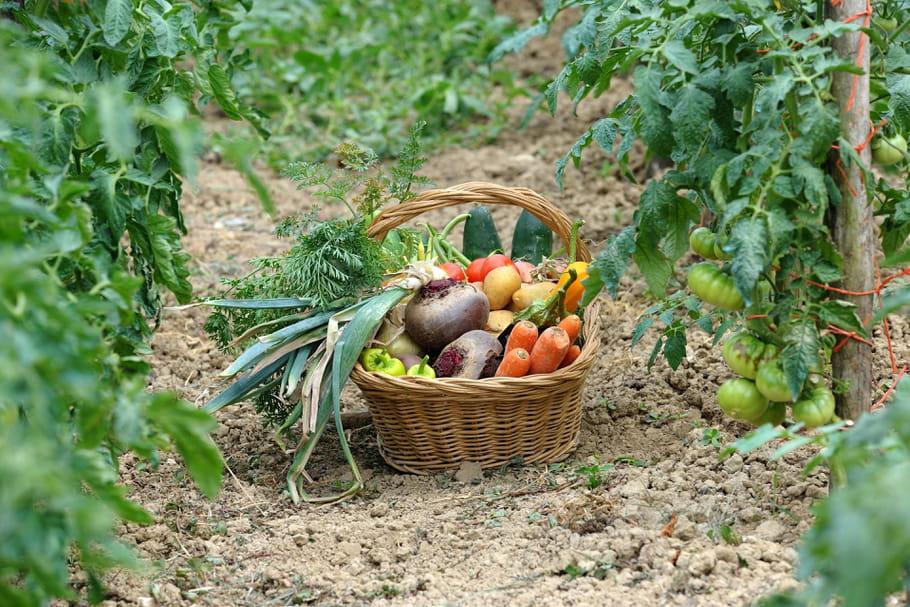 Associer les légumes dans un potager bio