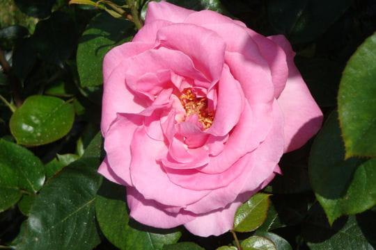 Le prestige de la rose