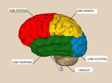 schema-cerveau