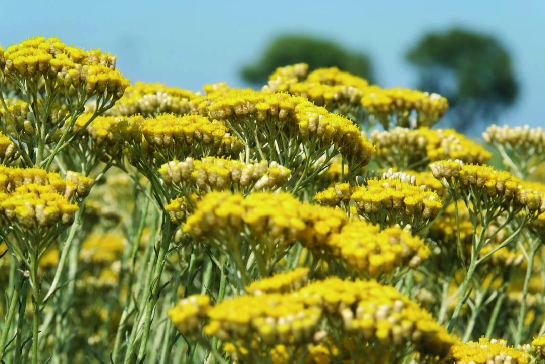 fleur-immortelle-loccitane